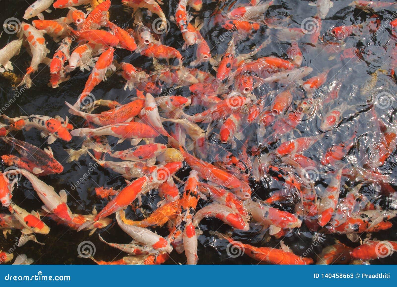 Muchos pescados de la carpa de la suposición en el agua muy limpia y clara