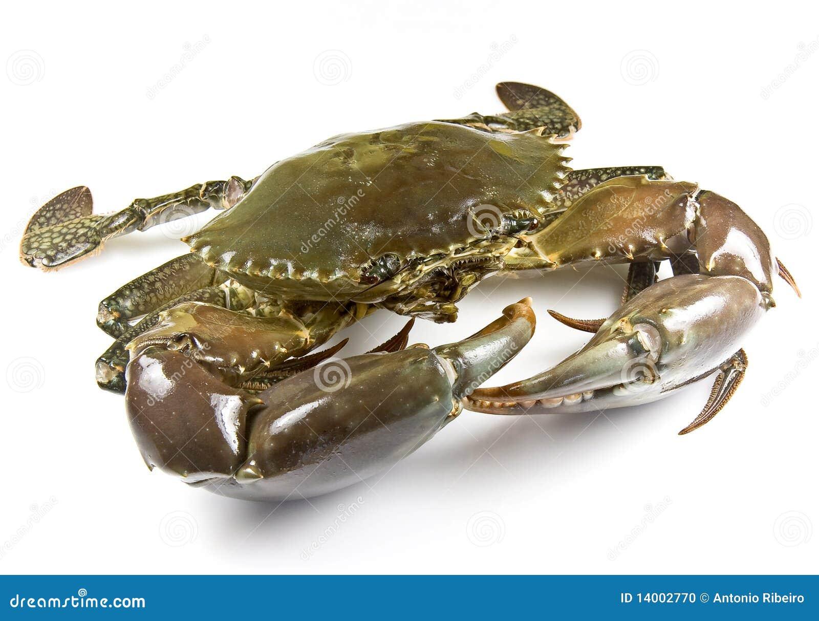 Mud Crab Stock Photo