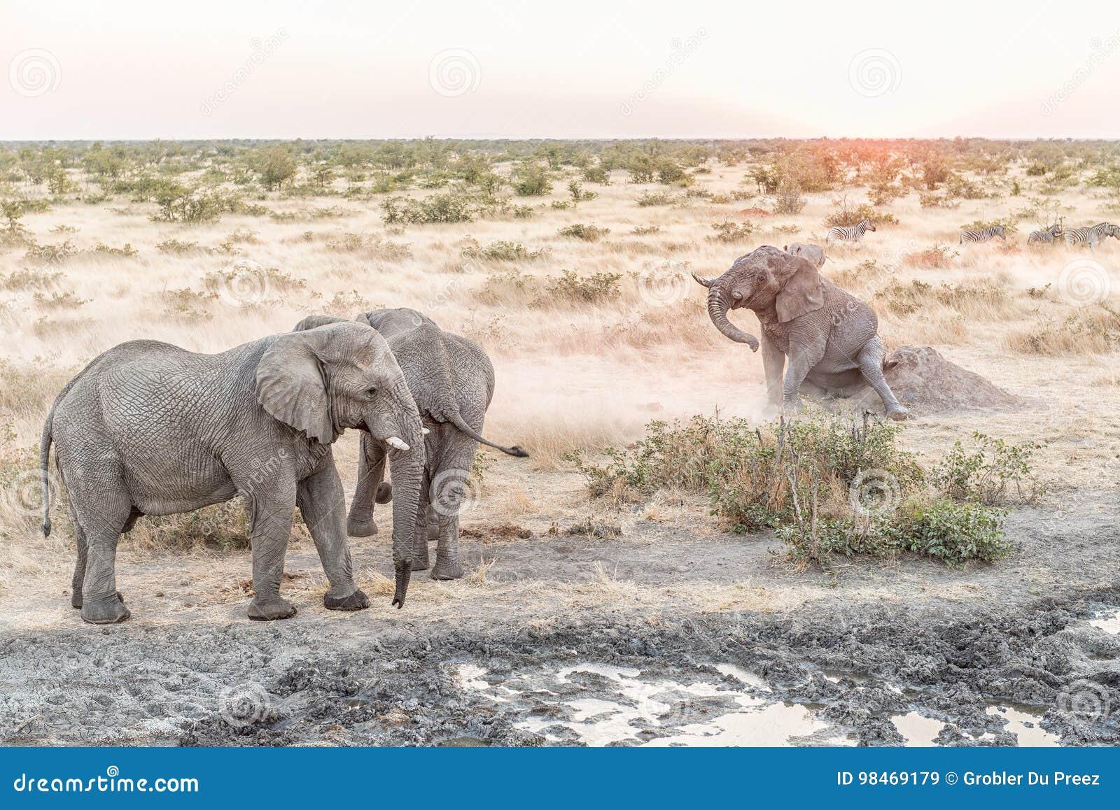 Muddy African Elephant som skrapar dess bakdel på solnedgången