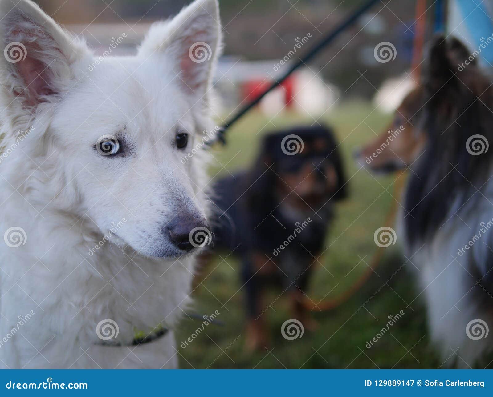 Mudi, Shetland sheepdog and Cavalier king charles spaniel