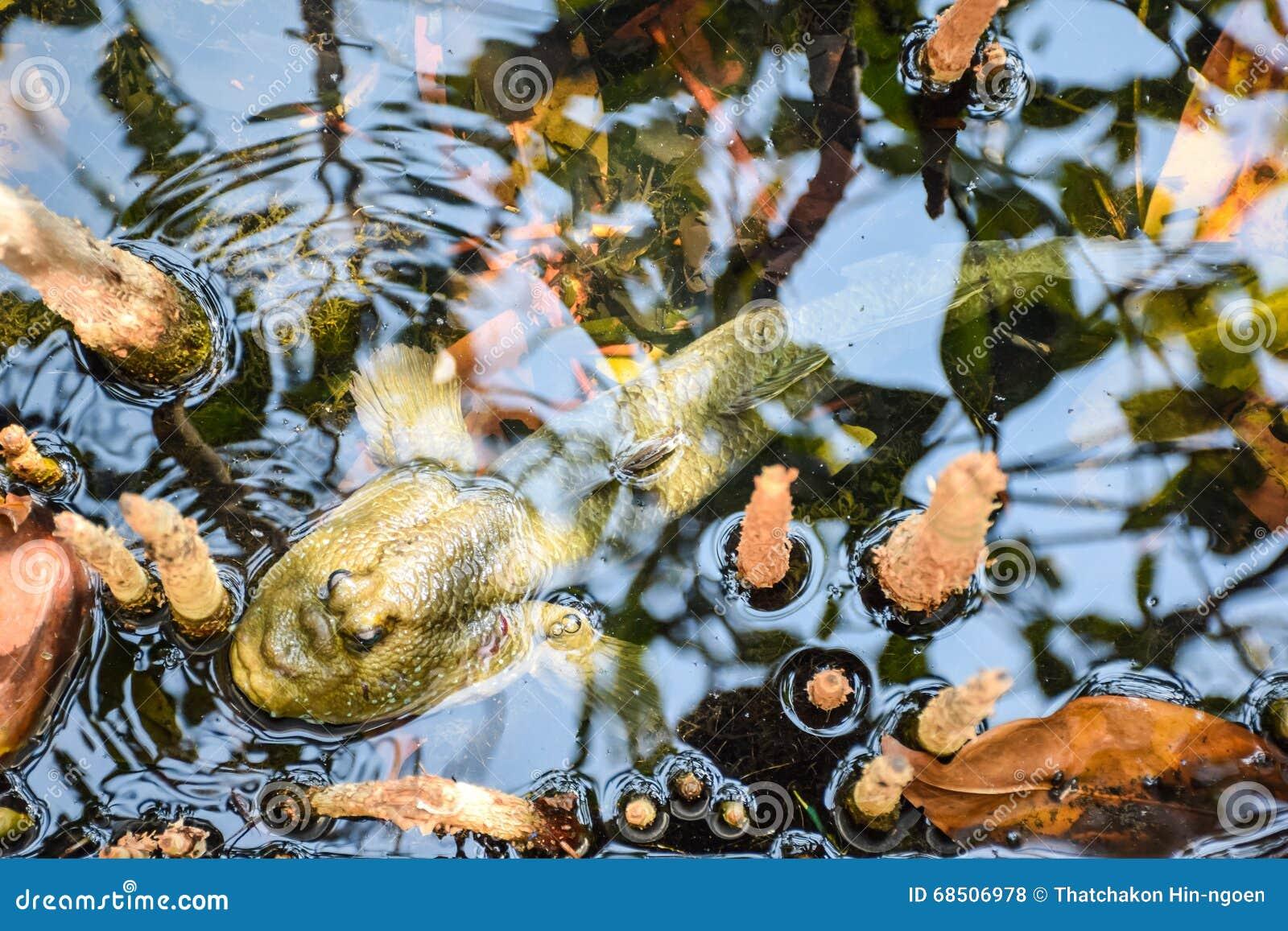 Mudskipper, αμφίβια ψάρια