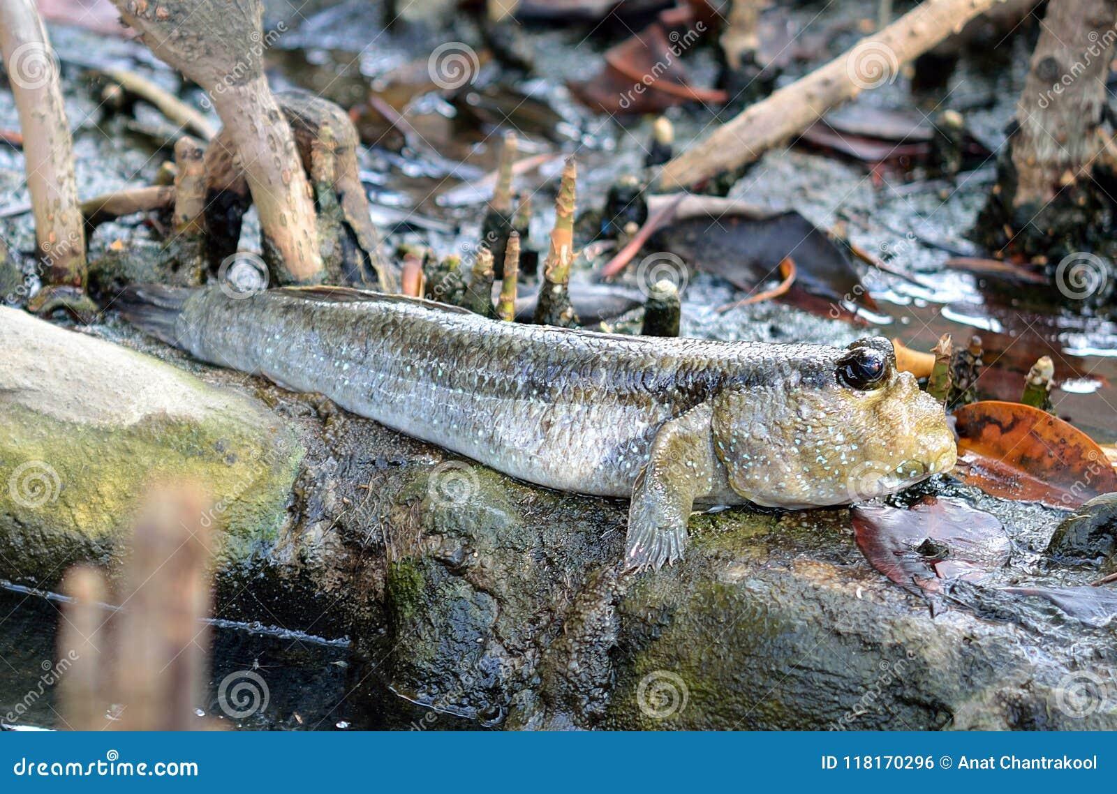 Mudskipper, Amfibische vissen