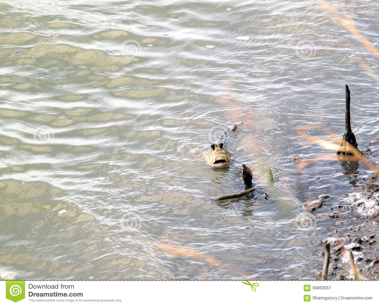 Mudskipper Stock Photo - Image: 60863551