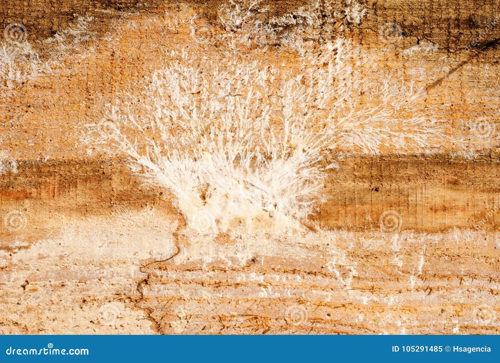Muffa Bianca In Cantina muffa su un bordo di legno immagine stock. immagine di nuovo