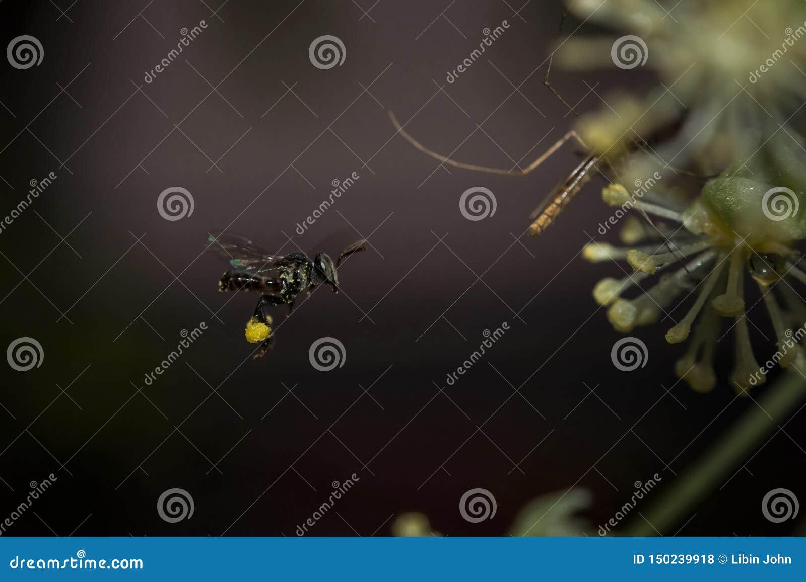 Mug die met stuifmeel op zijn benen vliegen