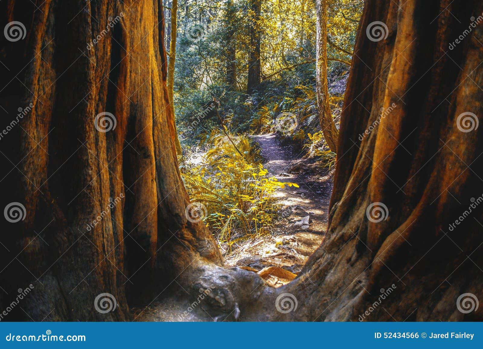 Muir Woods in Nord-Kalifornien