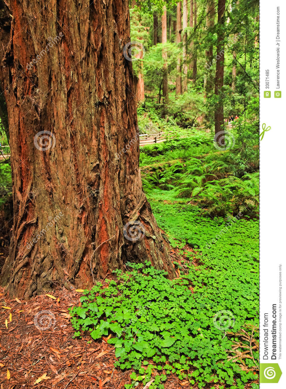 Muir woods redwood tree trunk royalty free stock photo image 33071485 - Flowers that grow on tree trunks ...