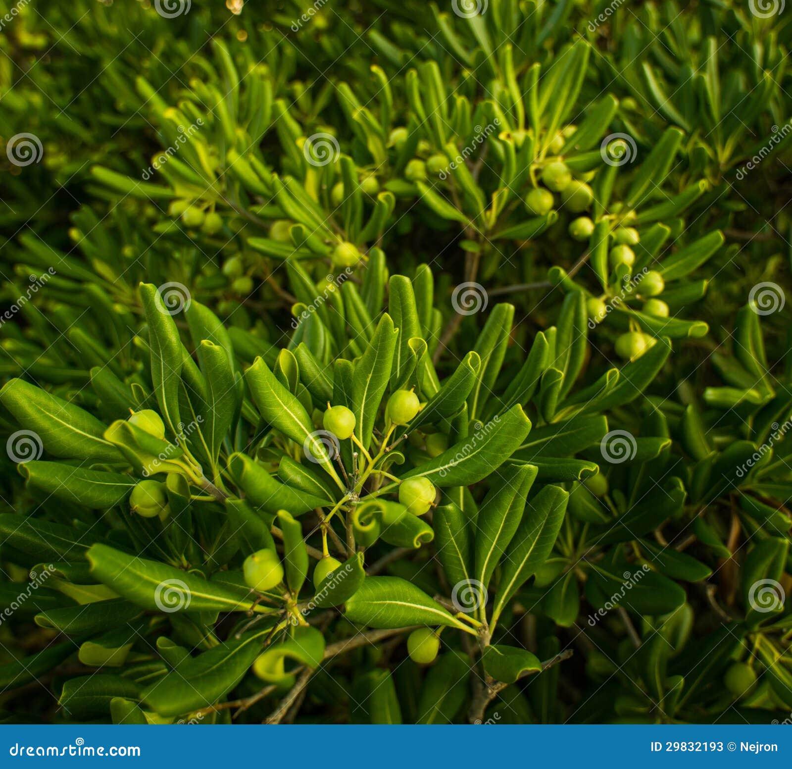 Fim-acima das azeitonas verdes