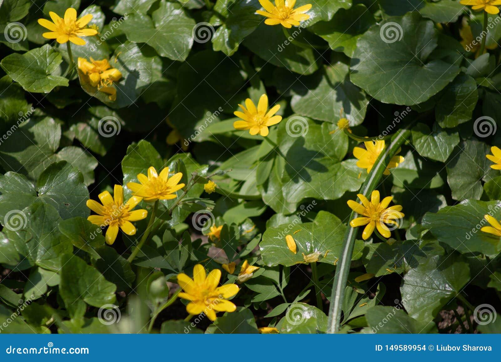 Muitas flores amarelas pequenas na floresta, flores da floresta da mola no fundo das folhas verdes