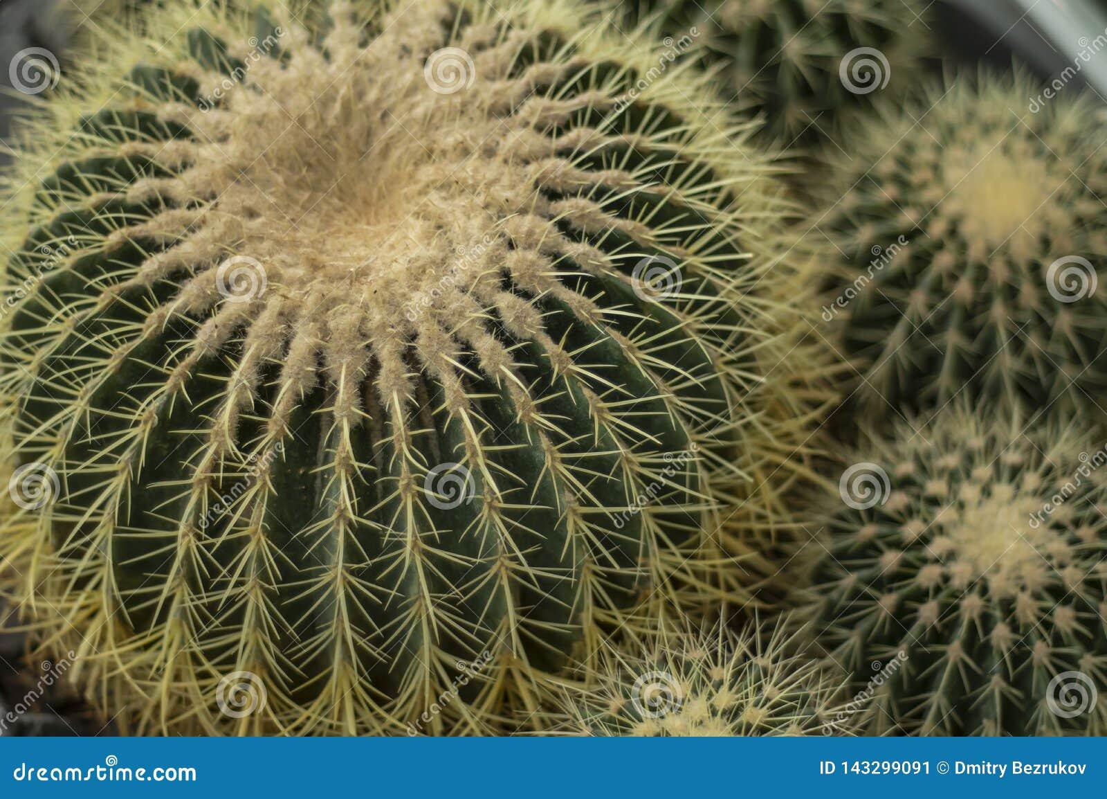 Muitas plantas do cacto de Echinocactus Grusonii