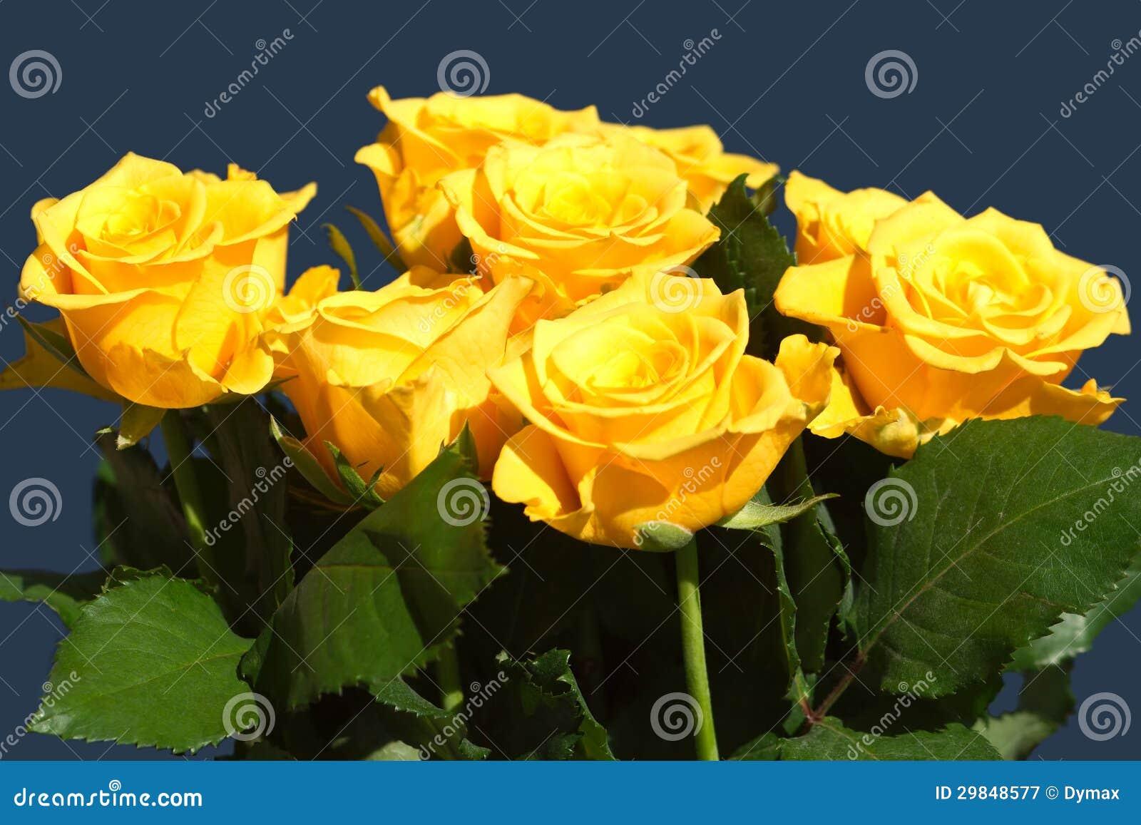Muitas rosas amarelas bonitas isoladas no close up azul