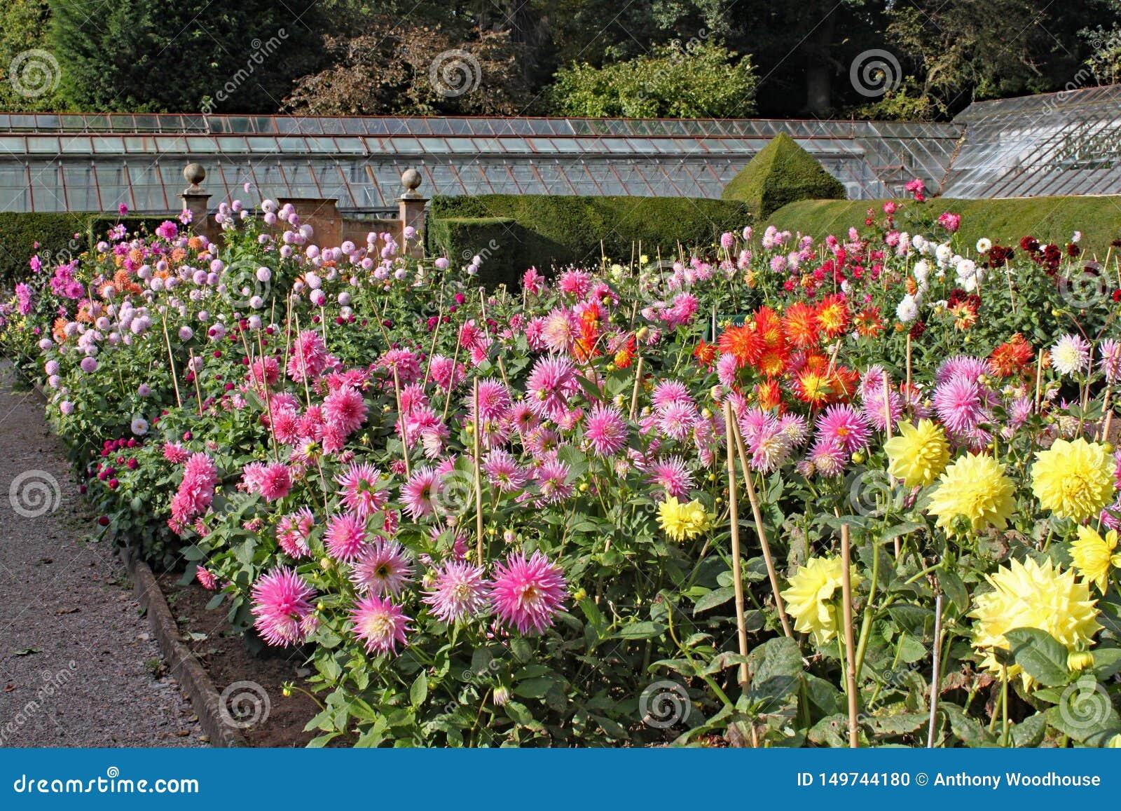 Muitas variedades de dália que crescem em um jardim inglês do país