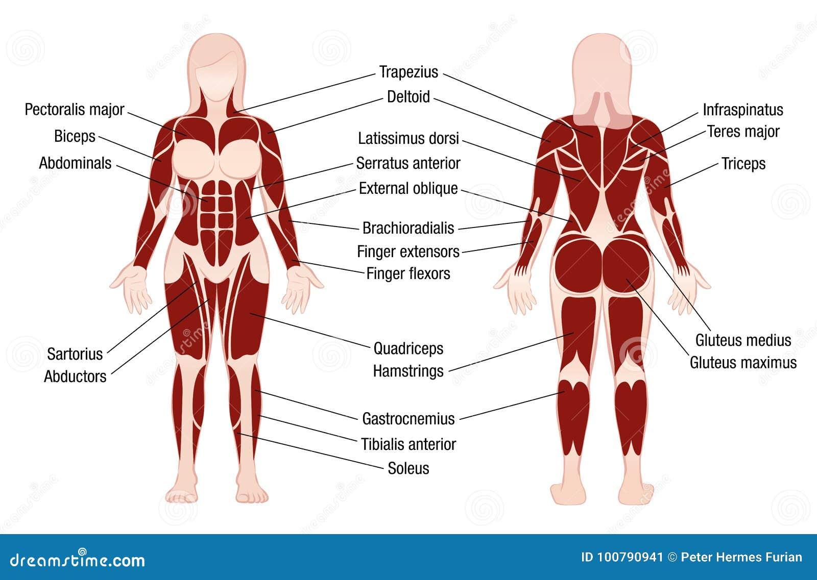 Encantador Cartas Musculares Anatomía Bosquejo - Imágenes de ...