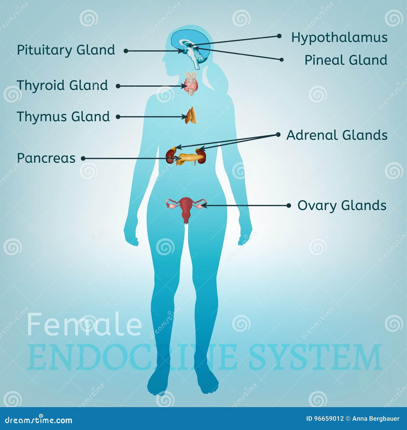 Excelente Etiquetar El Sistema Endocrino Ideas - Imágenes de ...