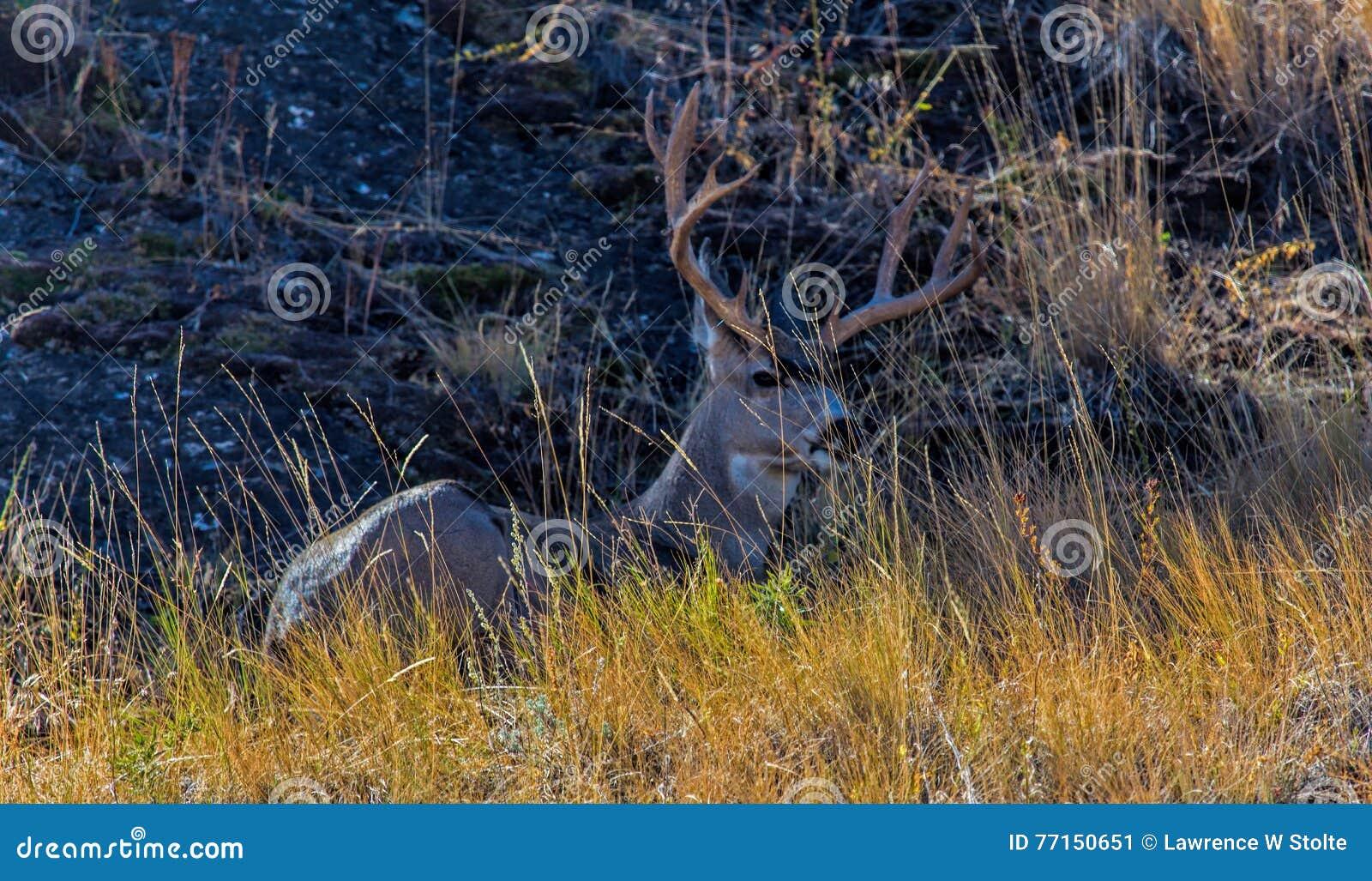 Mulahjortar Buck In Hiding