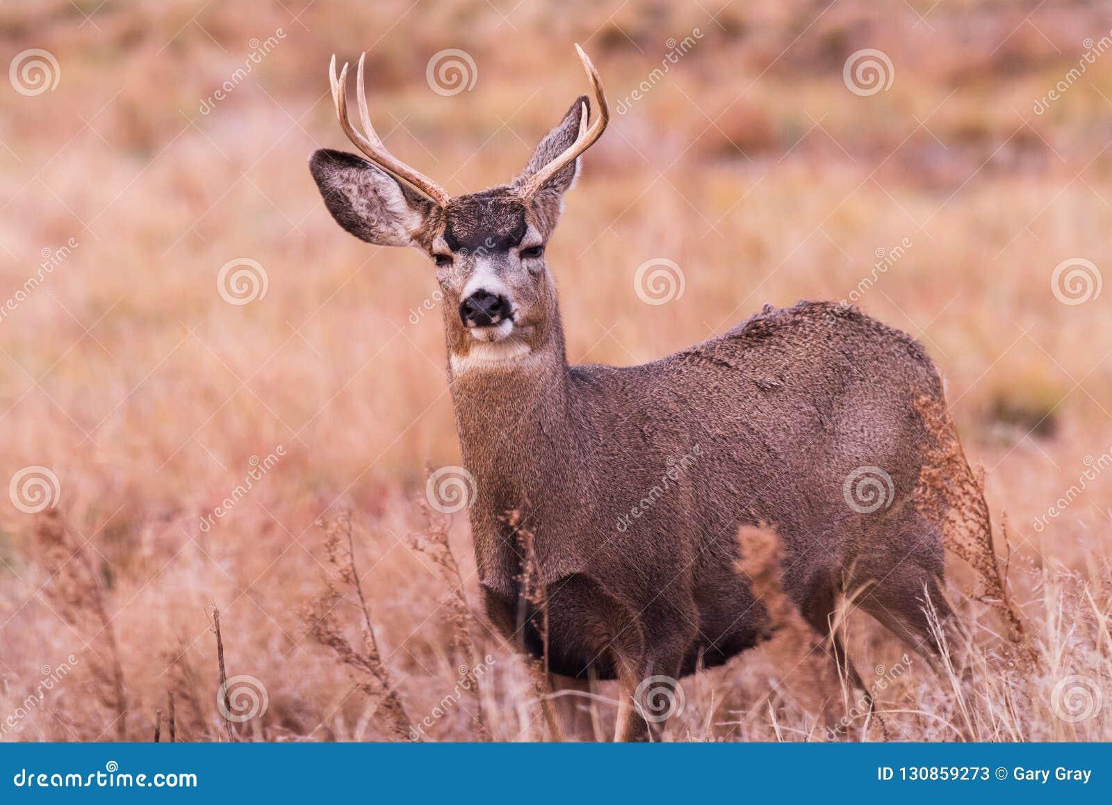 Mulahjortar Buck On The Move Lösa hjortar på de höga slättarna av Colo