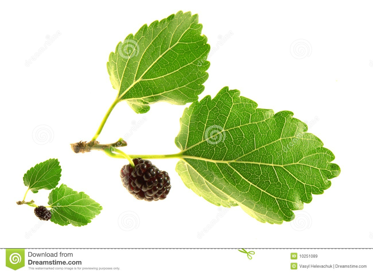 Mulberry,