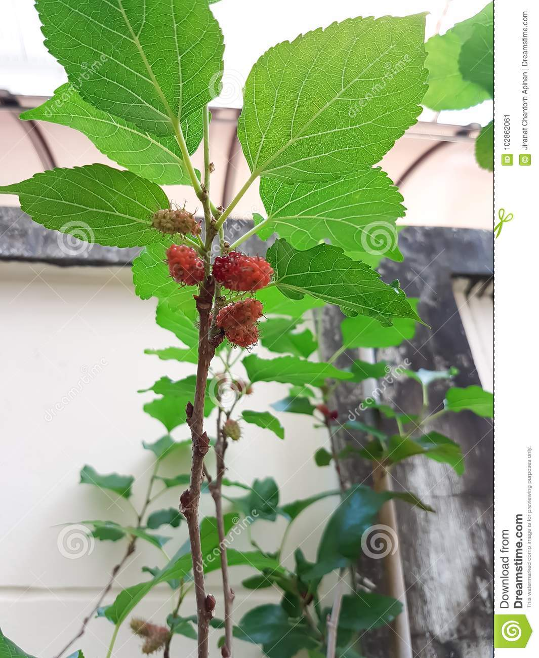 Mulberry Fruit On The Small Tree In Garden Stock Image Image Of