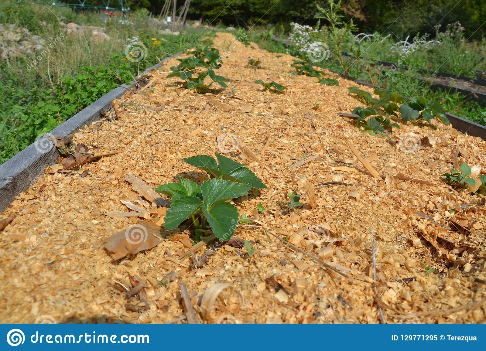 Mulched Strawberry Bed In The Garden Stock Image Image Of