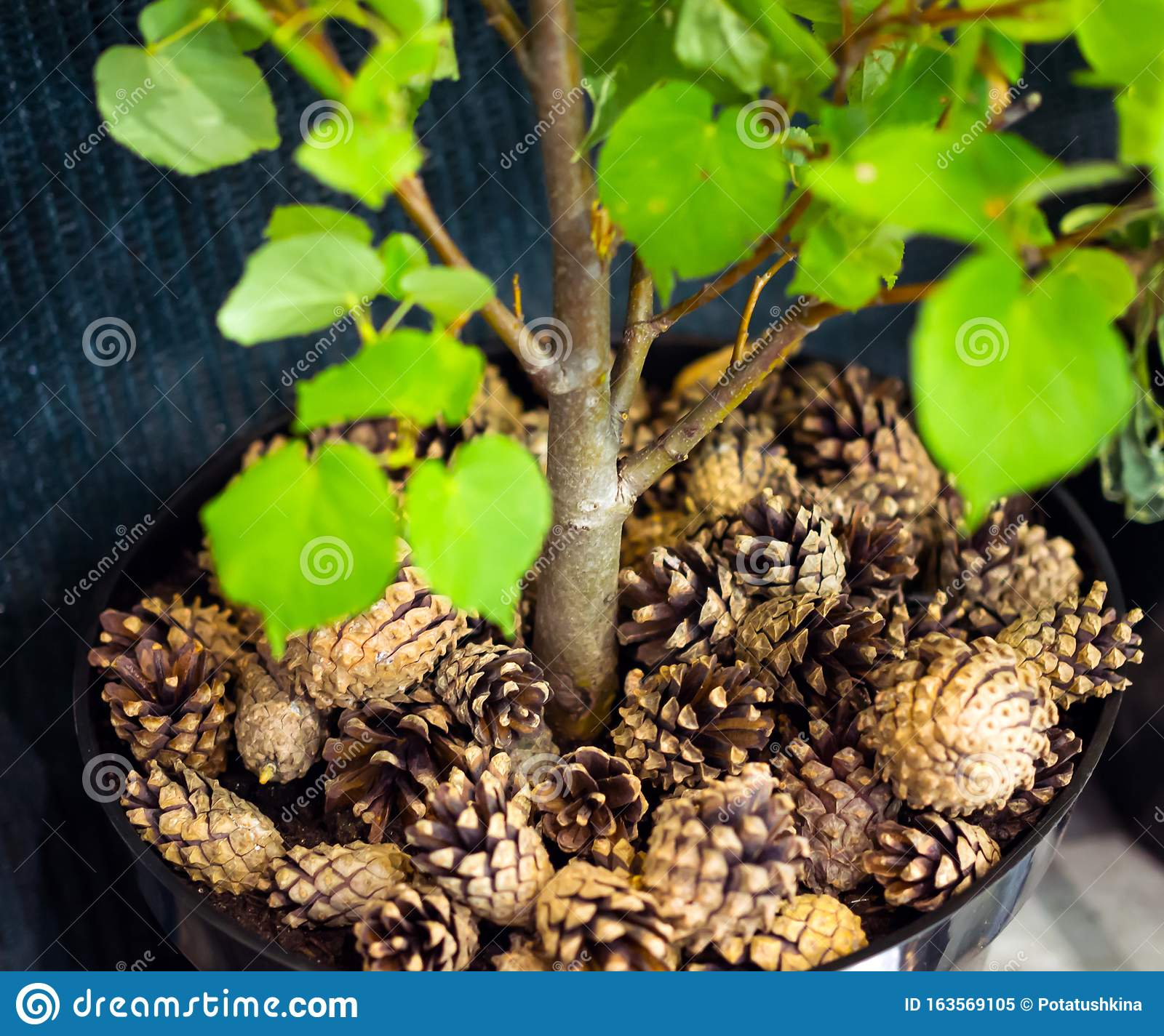 Mulching A Young Tree With Pine Cones Stock Image Image Of
