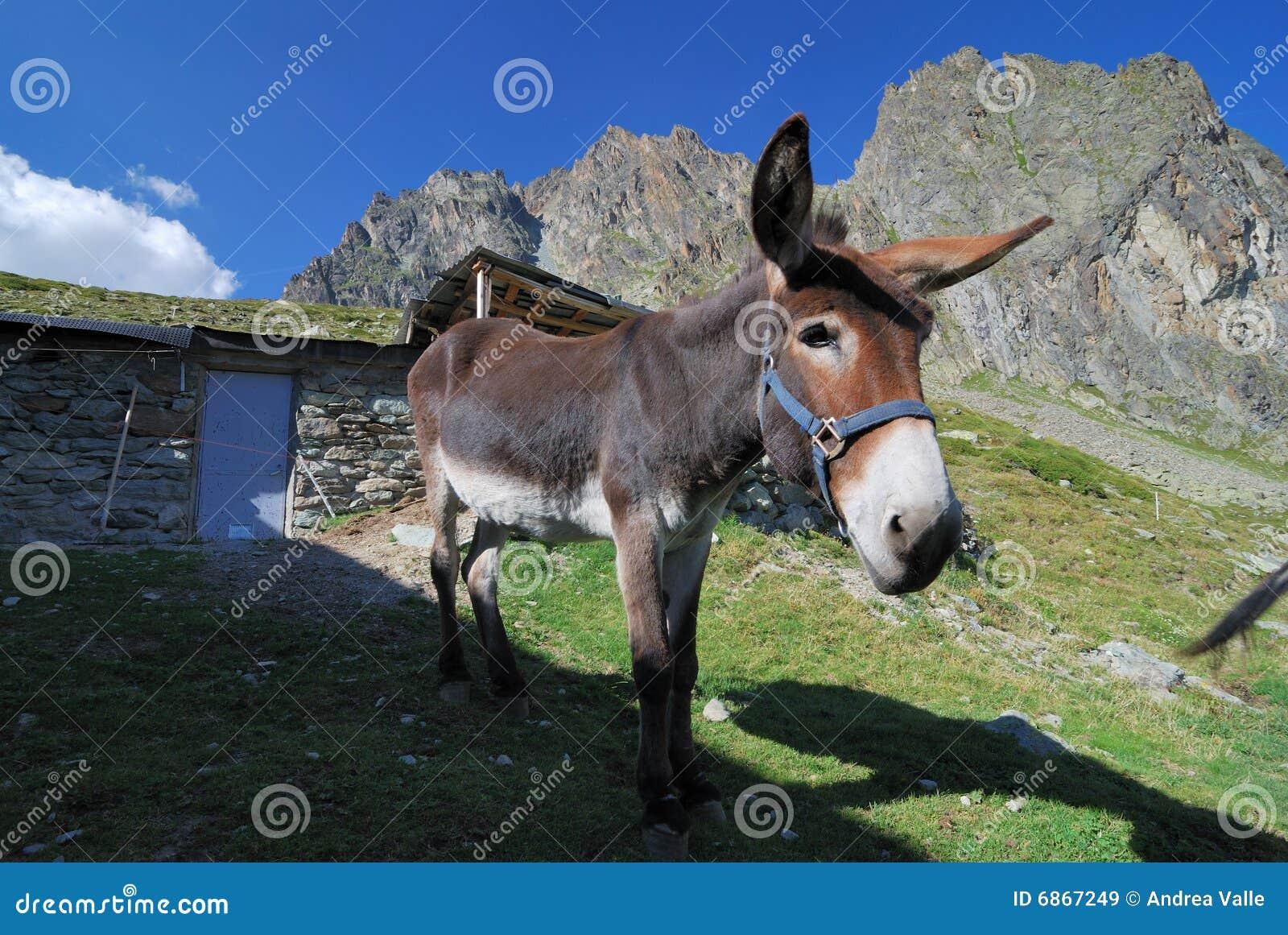 Mule !!