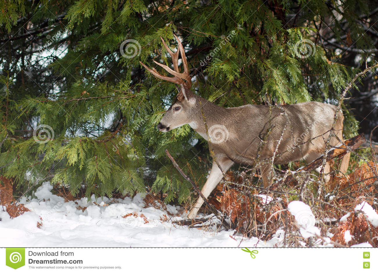 Mule deer buck with large antlers in snow