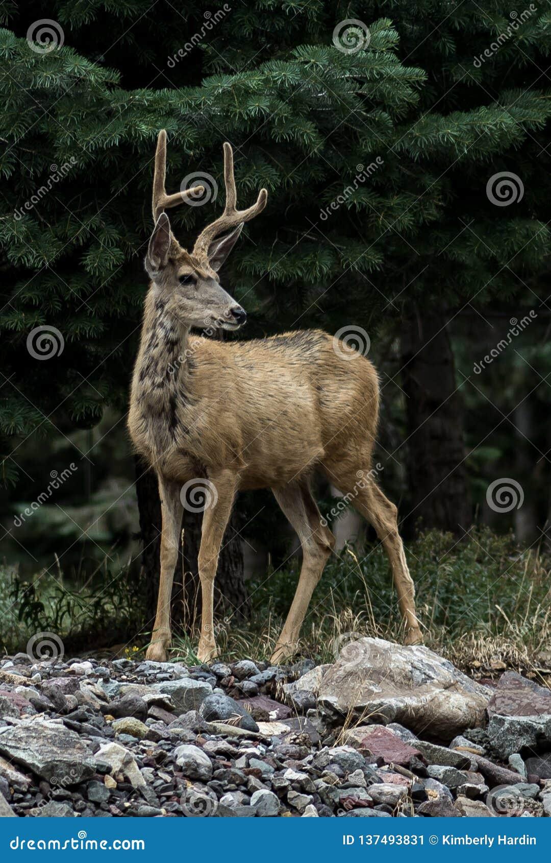 Mule deer with felt antlers