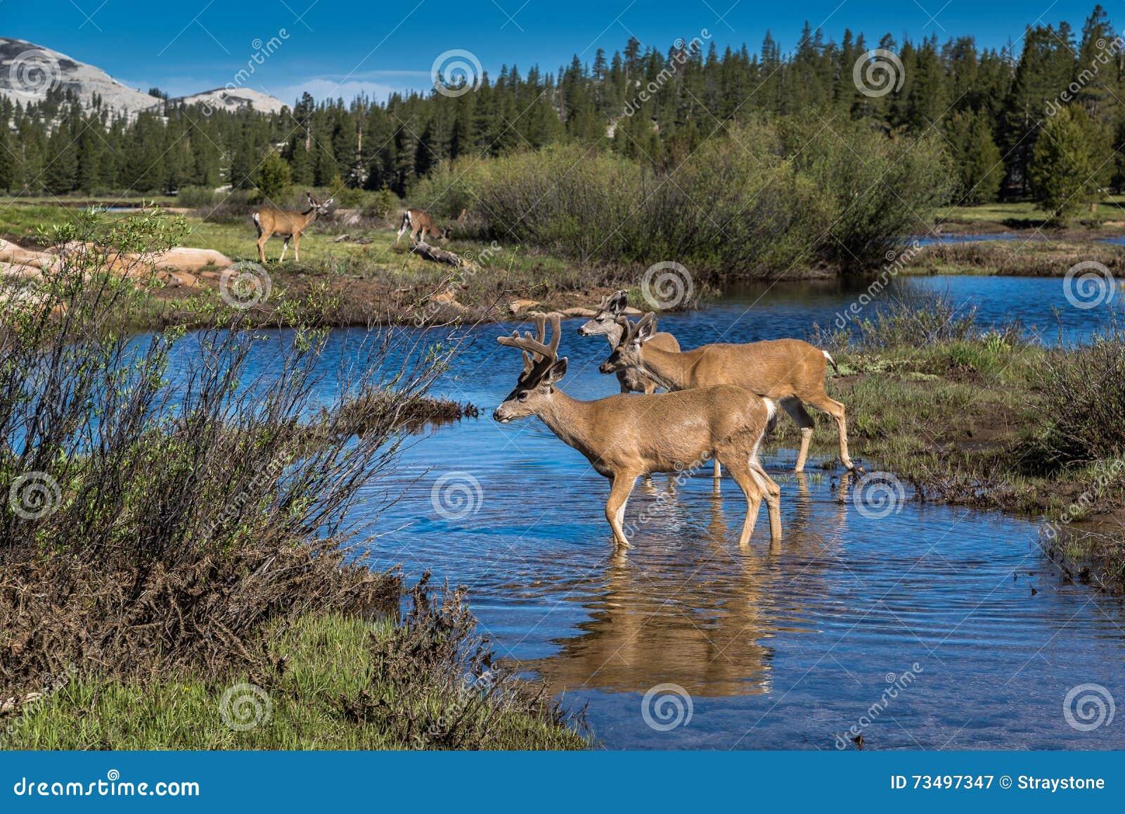 Mule deer herd at Tuolumne Meadows, Yosemite