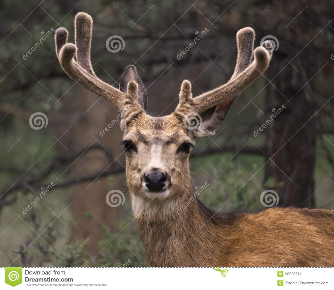 Mule deer with velvet antlers.