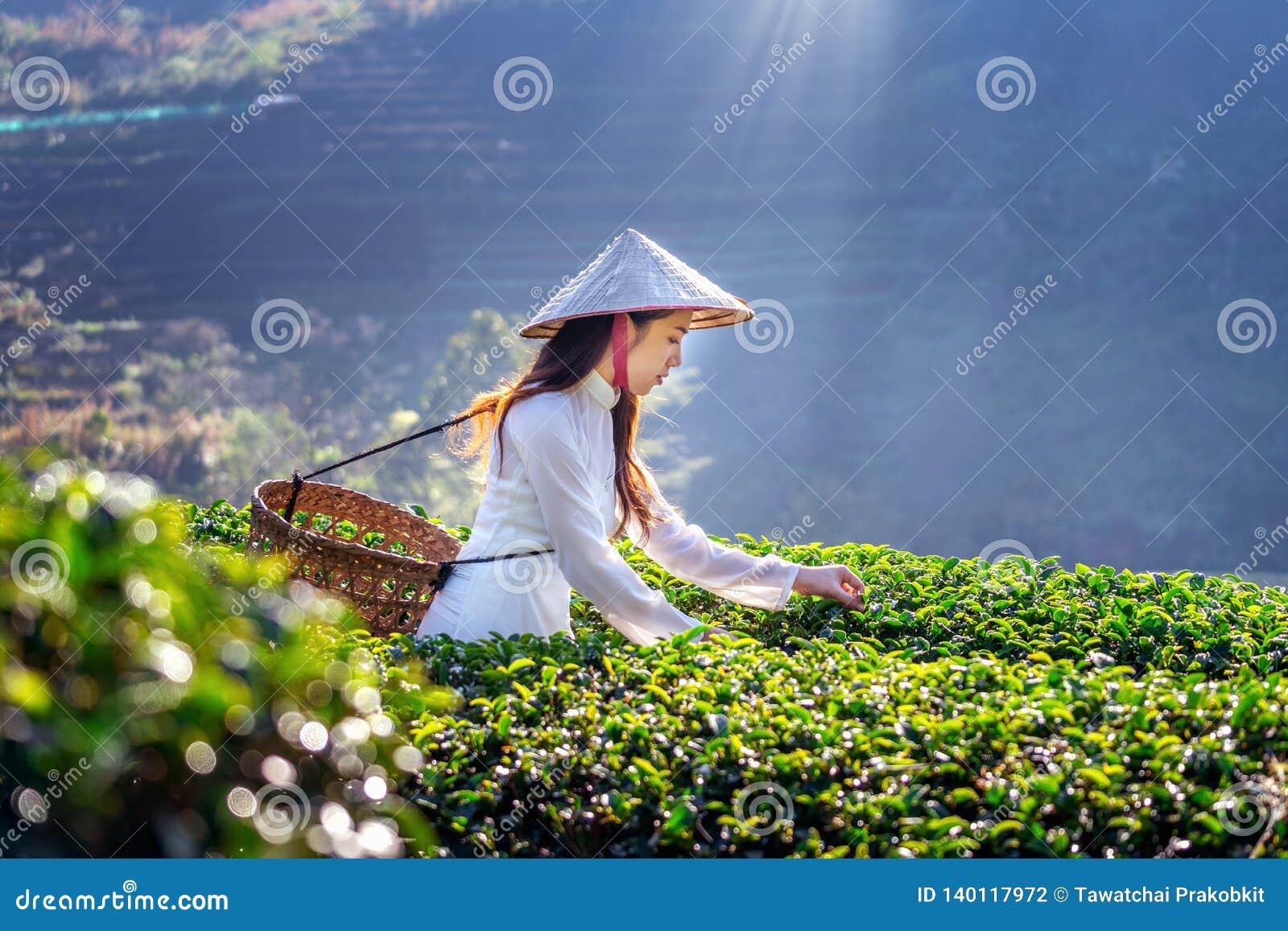 Mulher asiática que veste a cultura de Vietname tradicional no campo do chá verde