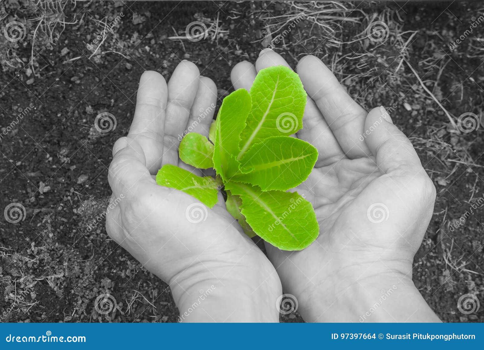 A mulher entrega guardar e importar-se uma árvore nova verde com solo marrom