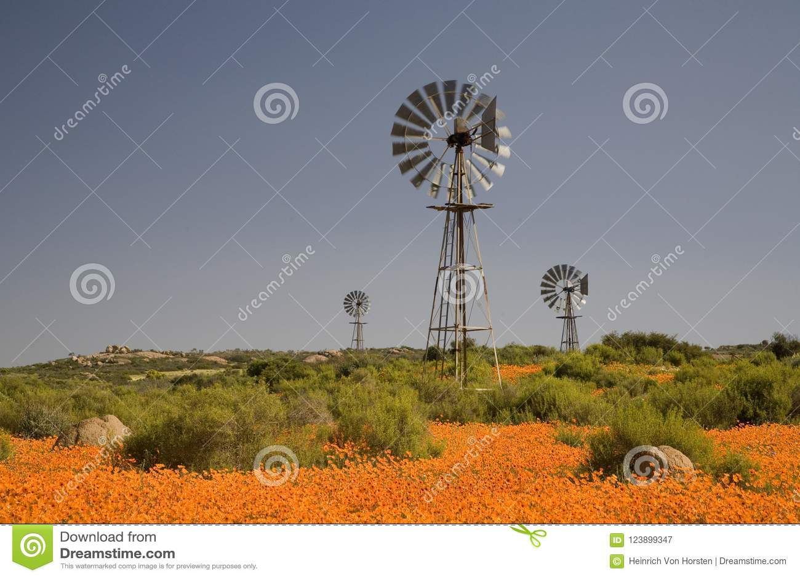 Mulini A Vento In Un Tappeto Dei Fiori Selvaggi In Namaqualand