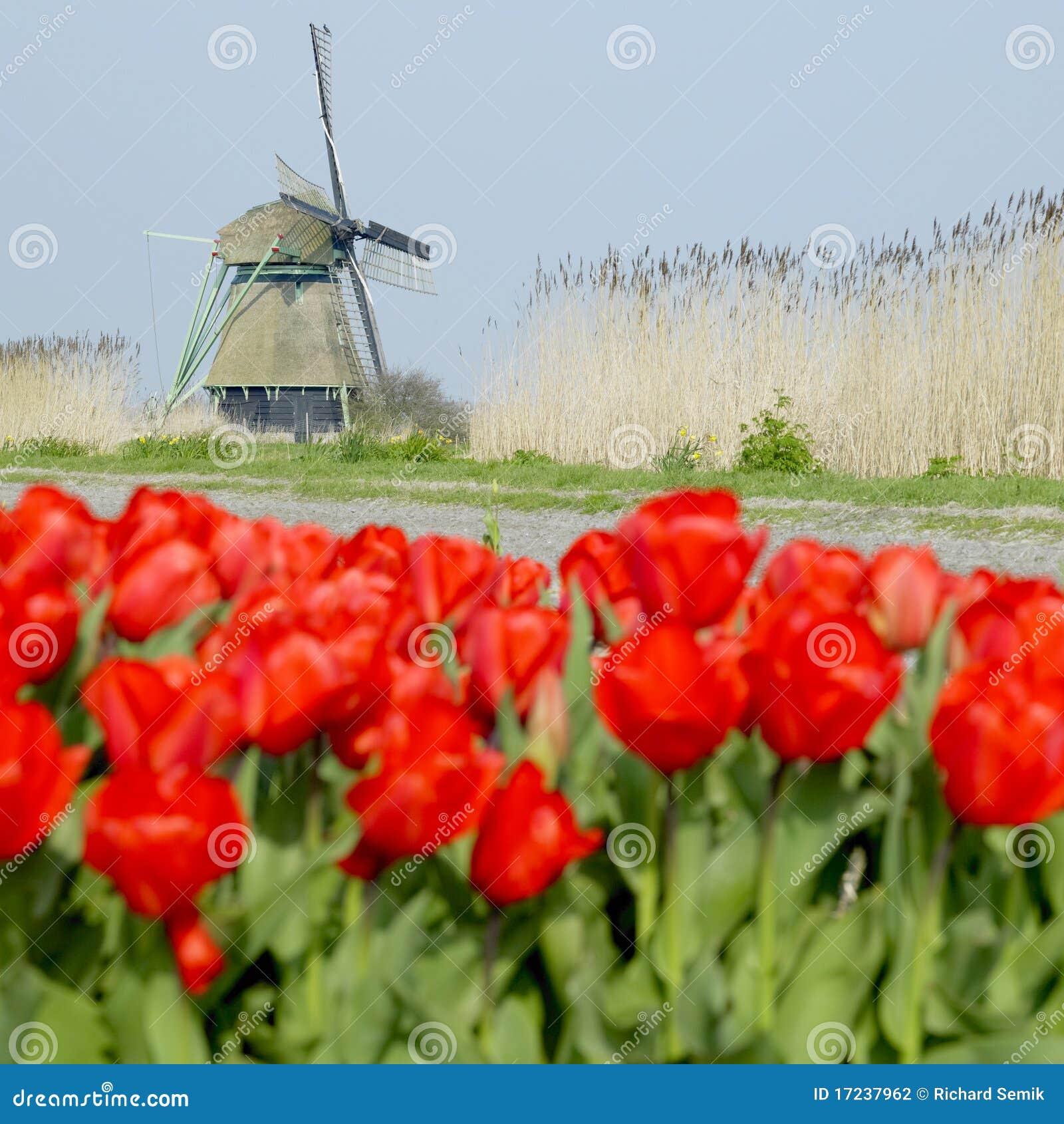 Mulino a vento con il campo del tulipano