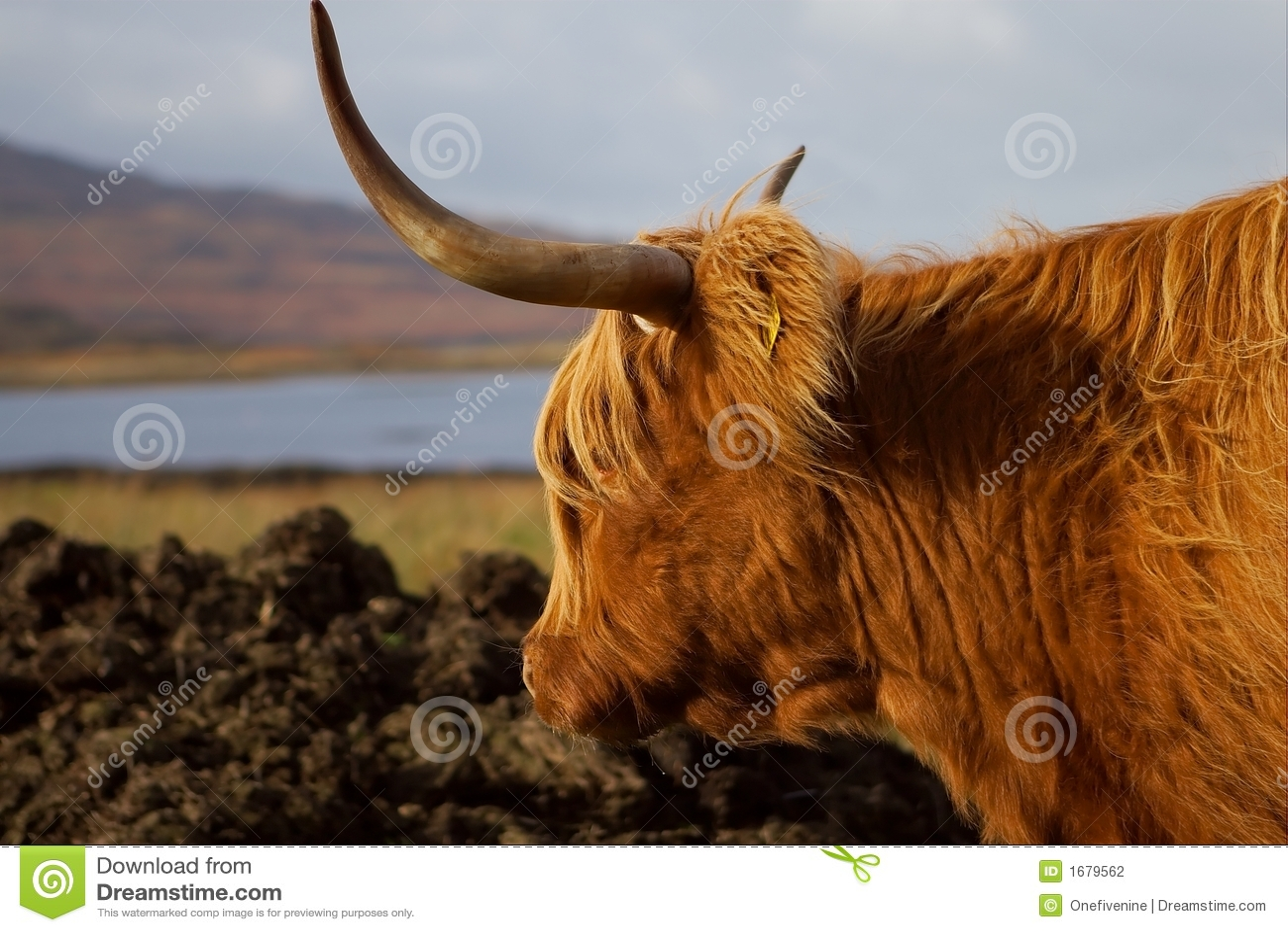 Mull Highland Cow