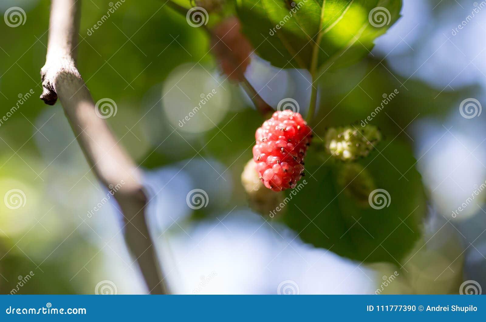 Mullbärsträdbär på trädet i natur