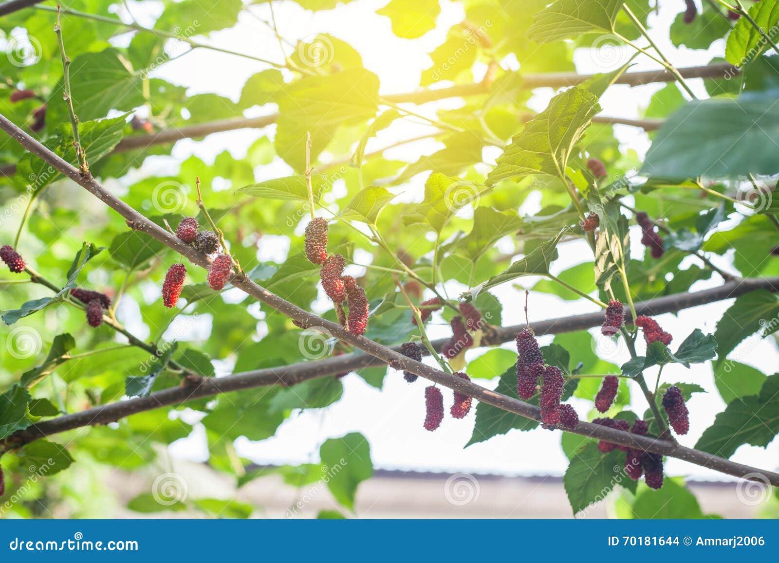 Mullbärsträdfrukt på träd,