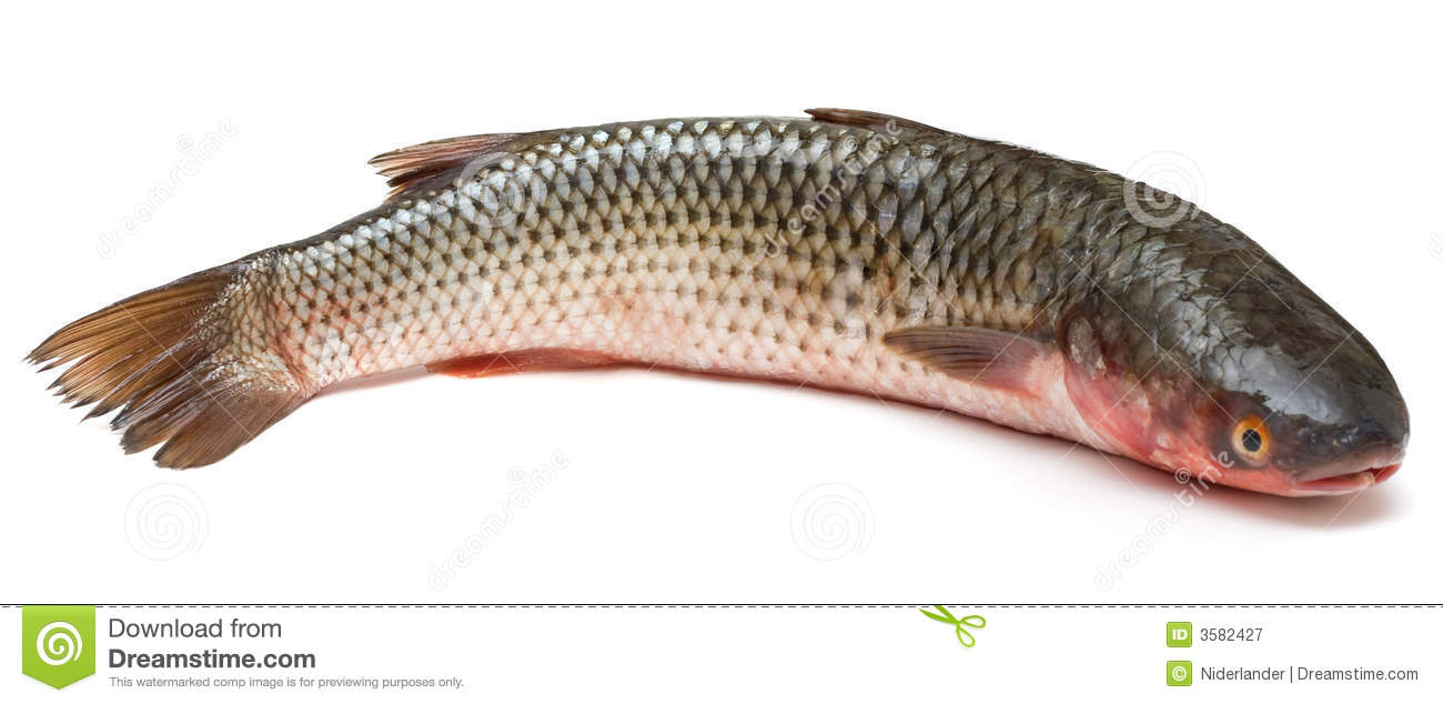 Mullet royalty free stock photography image 3582427 for Pictures of mullet fish