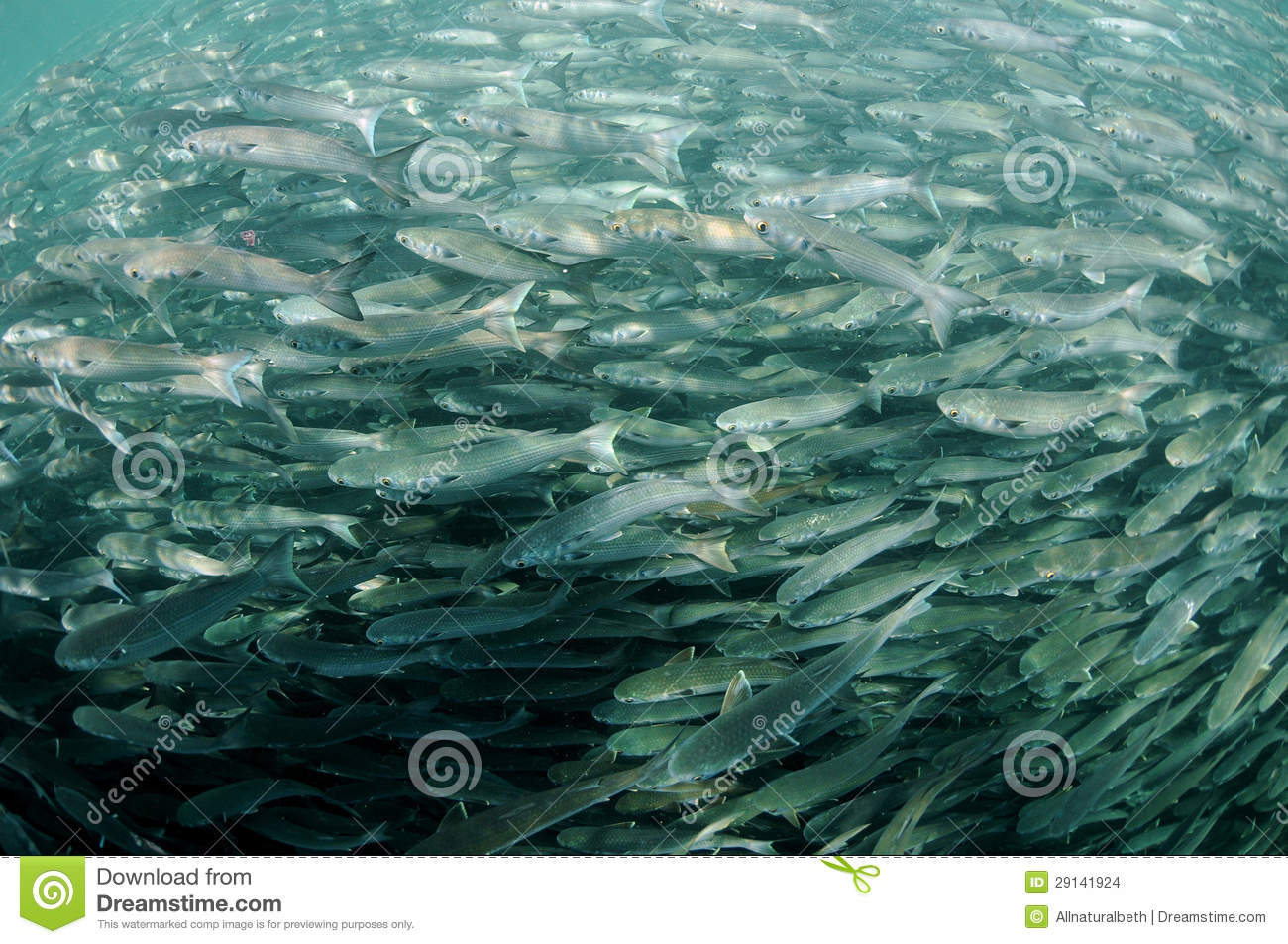 Mullet fish swimming in ocean stock photo image 29141924 for Dream of fish swimming