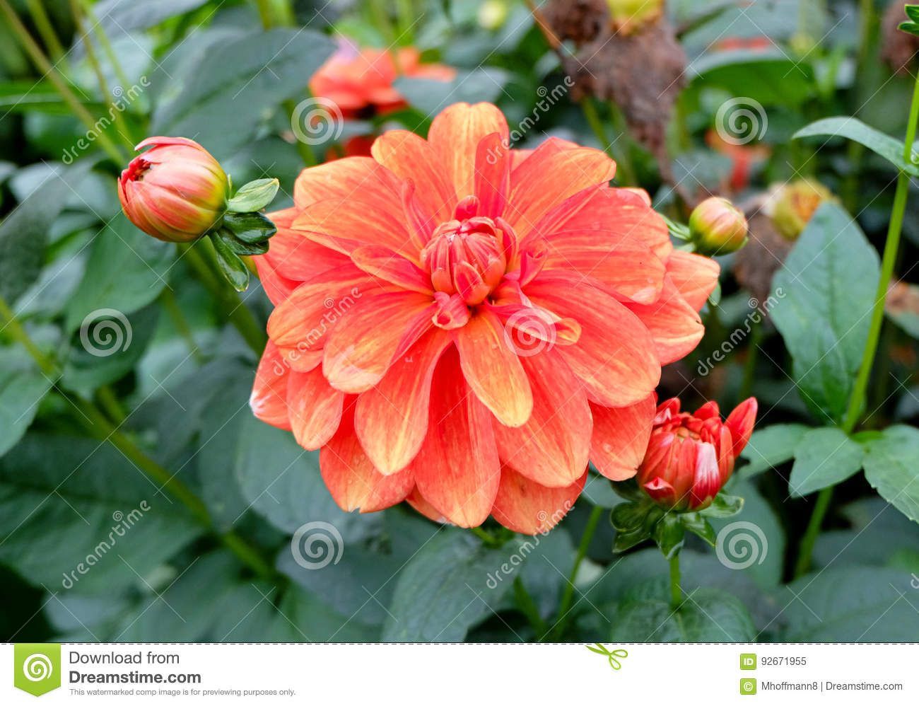 A Multi Colored Dahlia Dalia Flower In A Garden Fully Blooming With