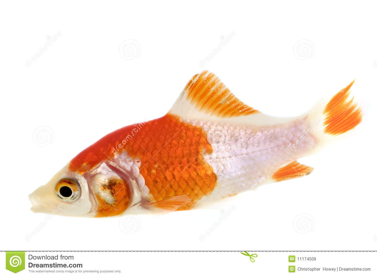Multi colored goldfish royalty free stock images image for Golden fish pipe