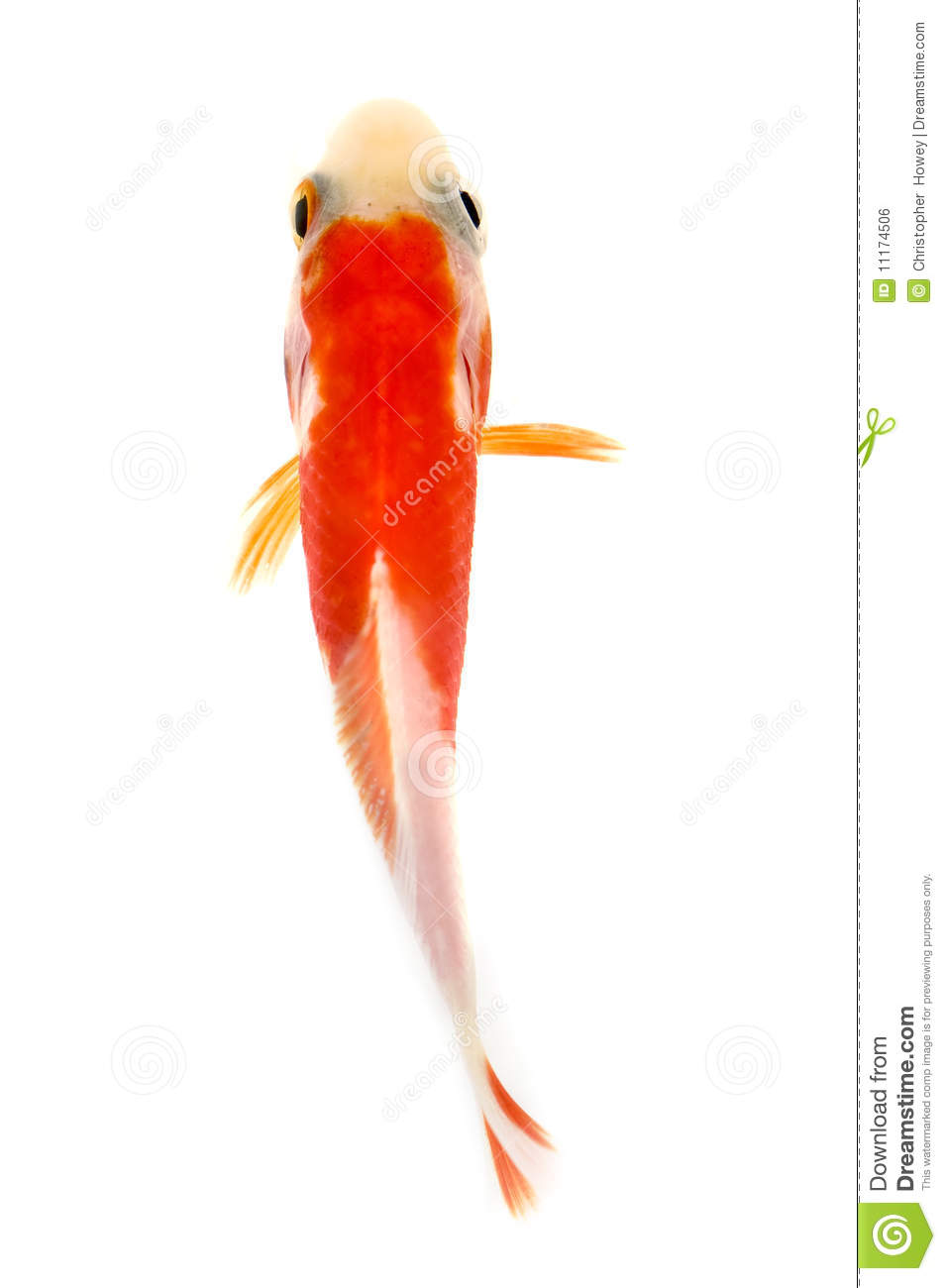 Multi-colored Goldfish From Above Stock Photo - Image of single ...