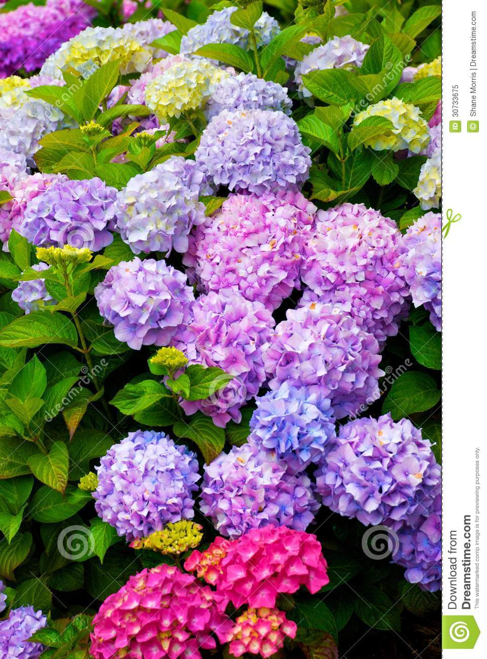 Multi Colored Hydrangea Bush With Blooms Royalty Free