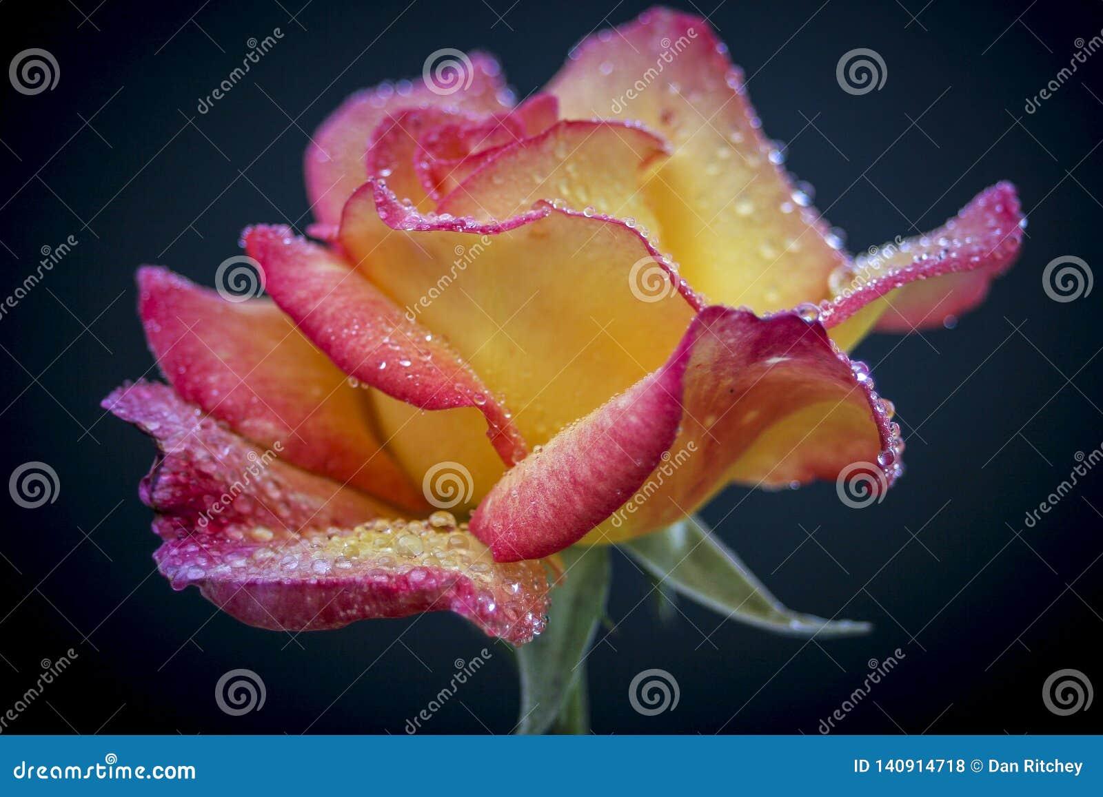 Multi-colorido profundo - a rosa amarela com um vermelho cora
