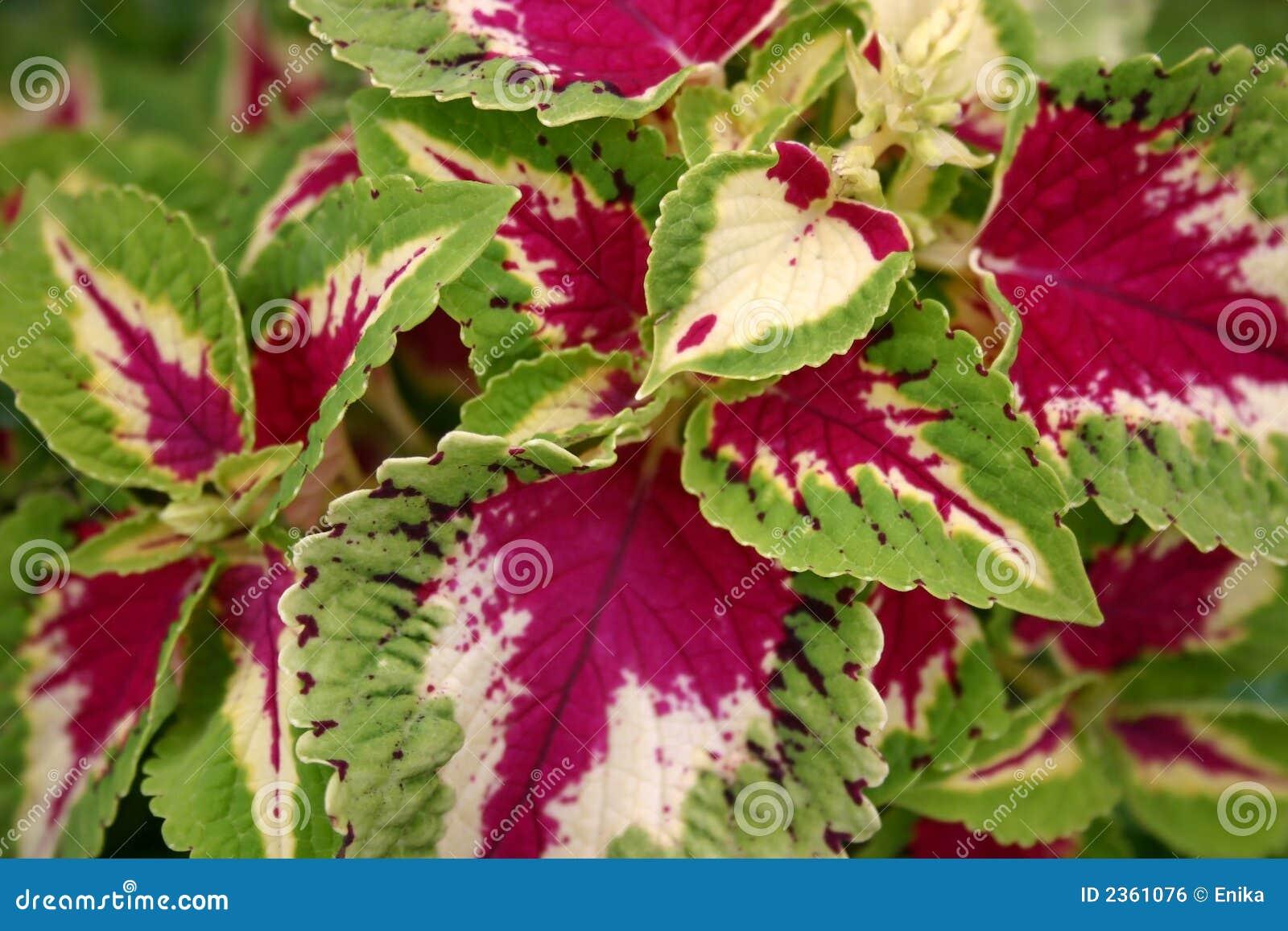 Цветок комнатный с красными и желтыми листьями фото