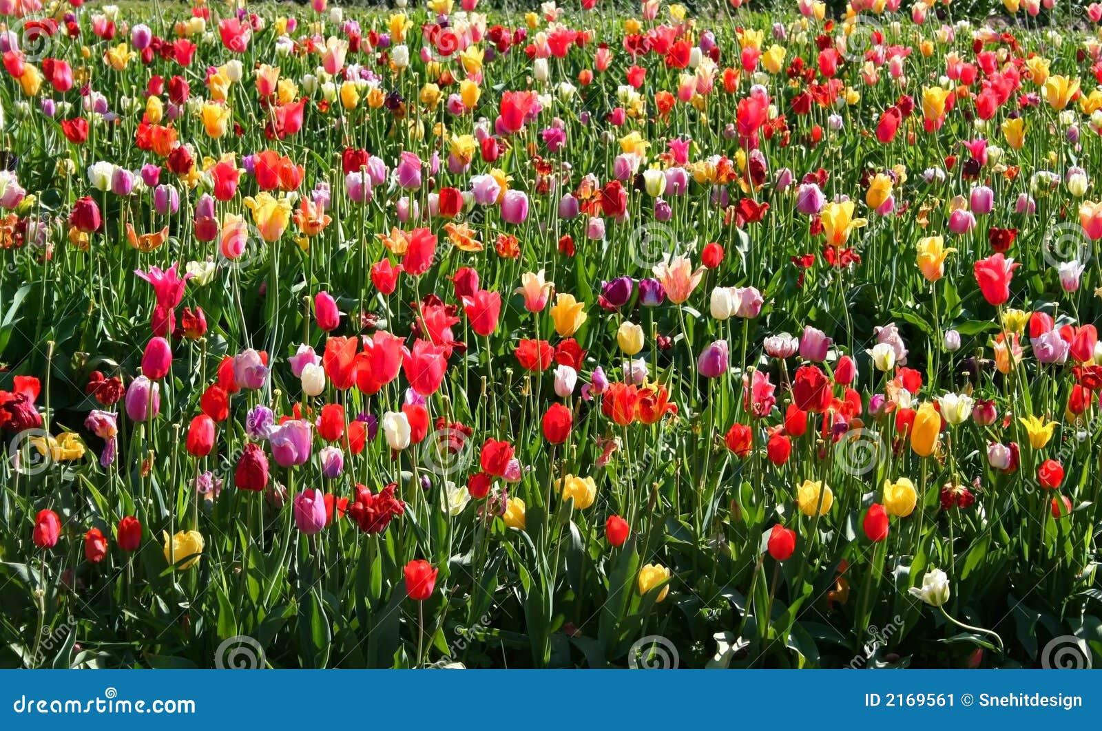 multi farbige tulpen stockbild bild von holl ndisch sommer 2169561. Black Bedroom Furniture Sets. Home Design Ideas