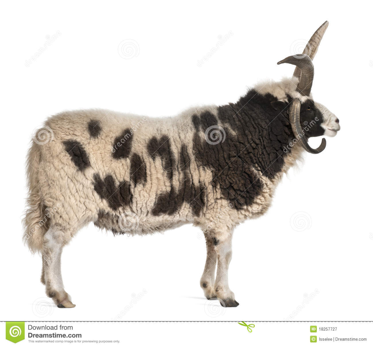 Multi-gehoornde Jacob Ram, Ovis aries