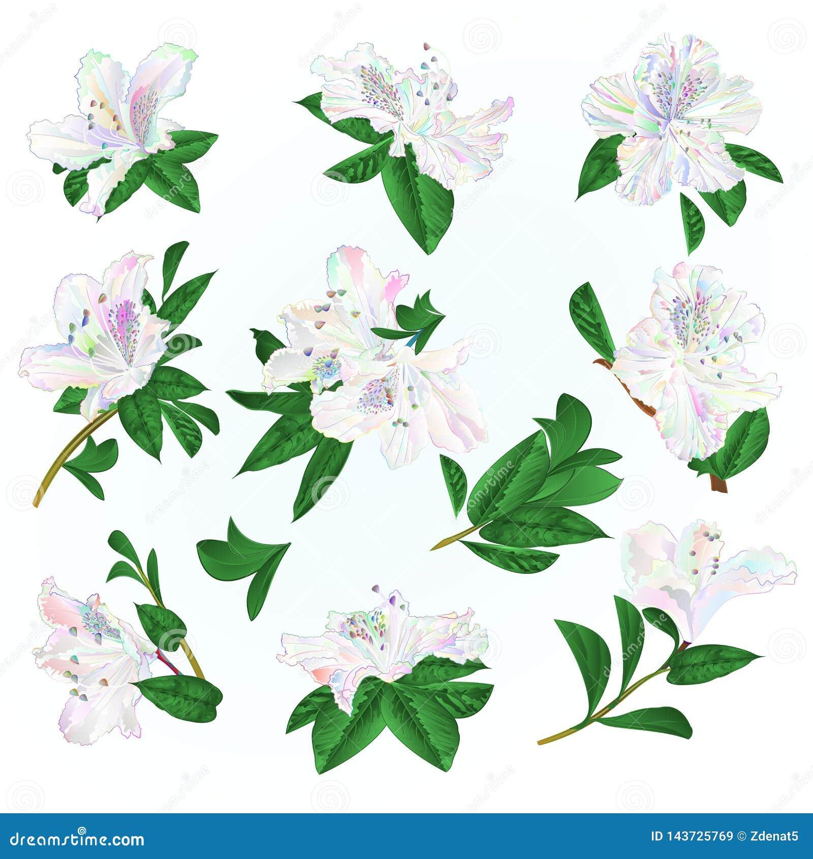 Multi gekleurde van bloemenrododendrons en bladeren bergstruik op een blauwe uitstekende vector editable illustratie als achtergr