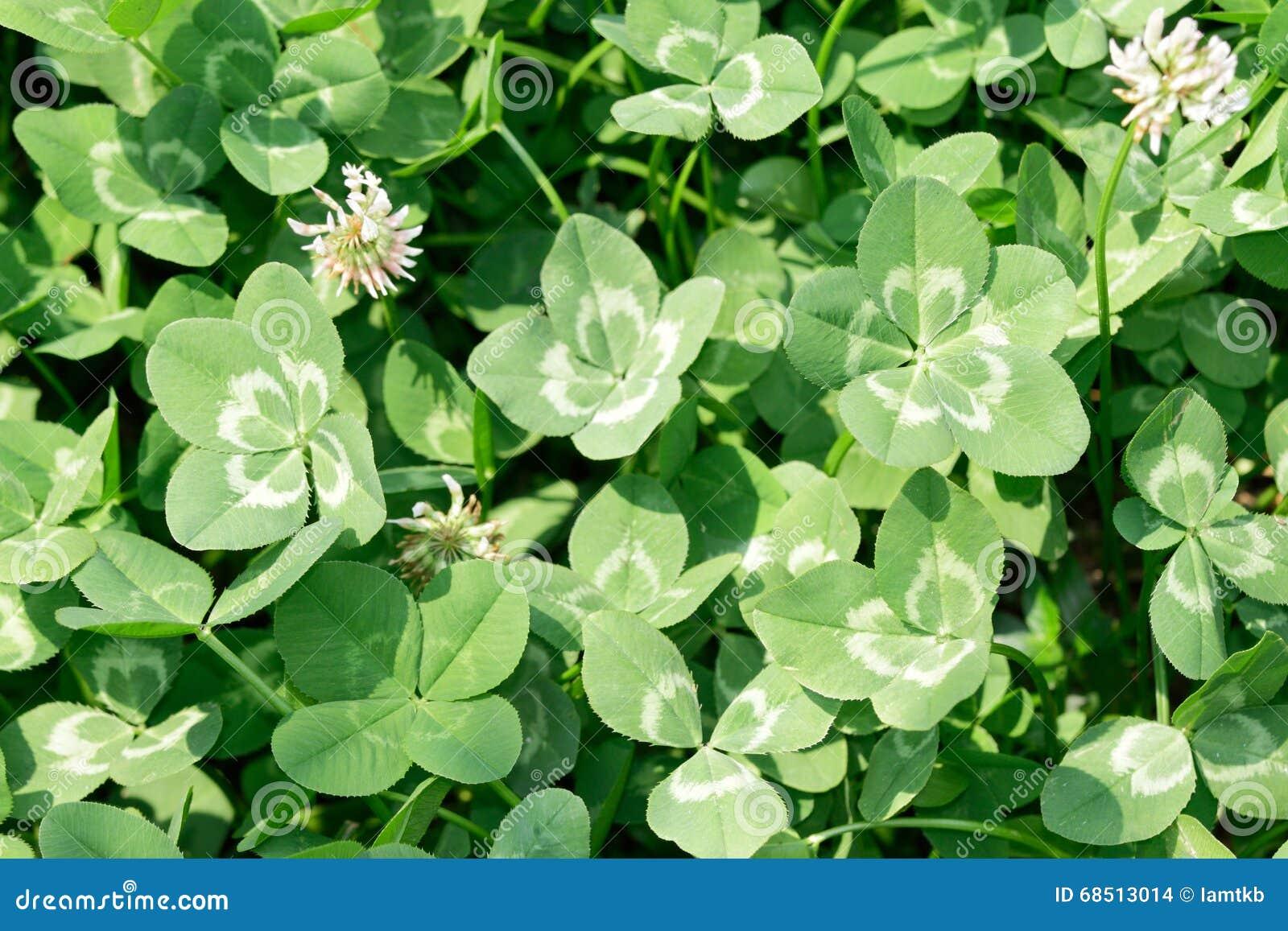 Multi Leaf Clover Stock Photo Image Of Patrick Flower