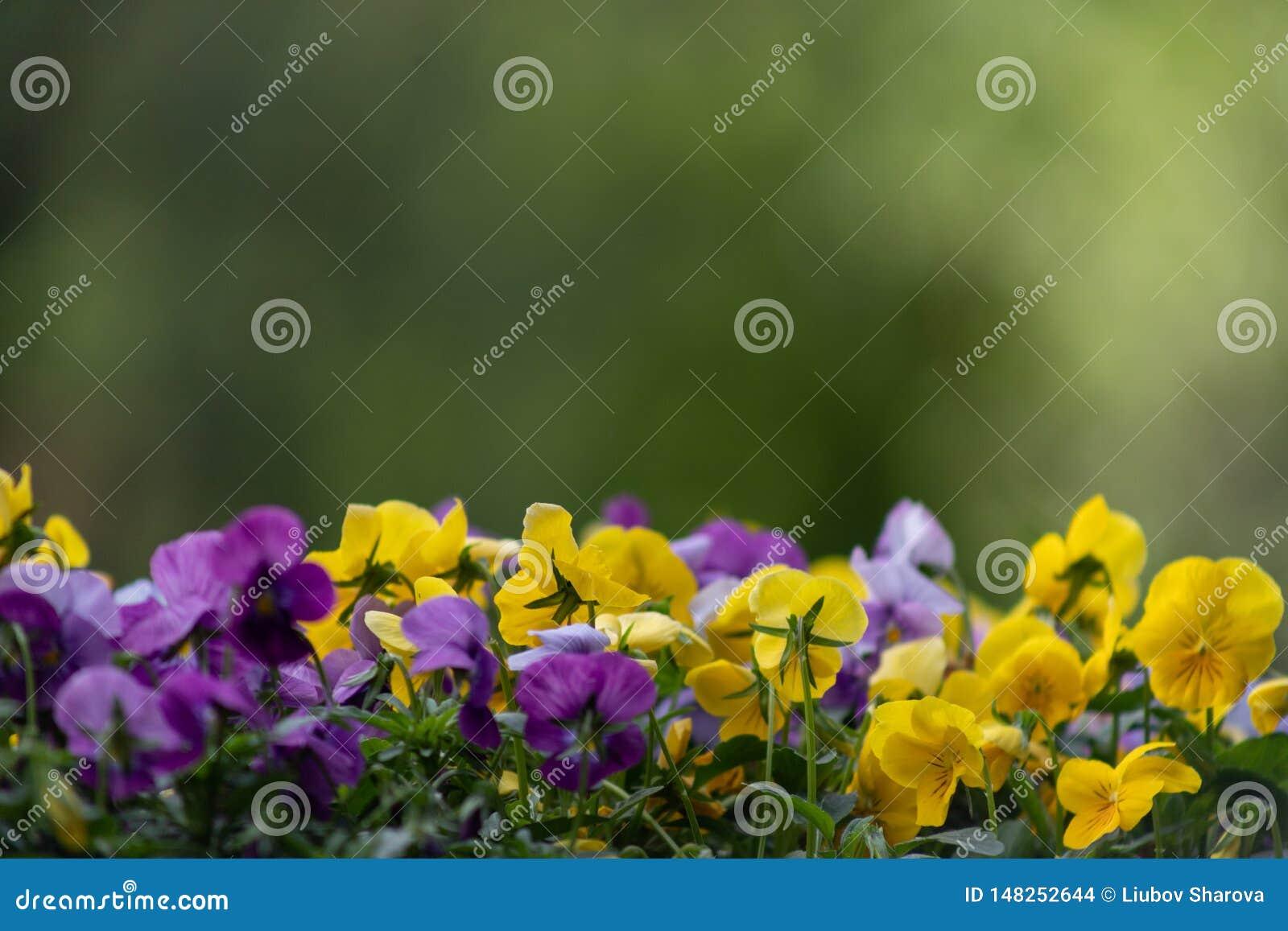 Multicolor цветки или pansies pansy закрывают вверх как предпосылка или карта