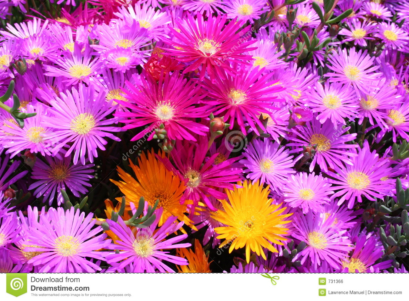 Multicolor flowers blooming in spring royalty free stock image flowers dhlflorist Choice Image